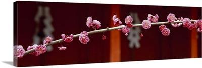 Blooming Ume-apricot Tree (Kitanotenmangu Kamikyo-ku) Kyoto Japan