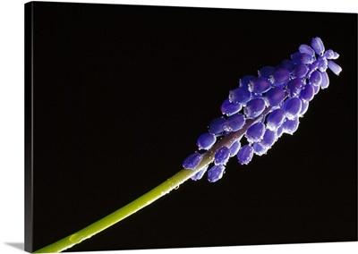 Blue grape hyacinth flower blossom, close-up, black background.