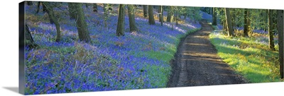 Bluebell flowers along a dirt road in a forest, Gloucestershire, England