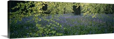 Bluebells around beech trees Westonbirt Arboretum Gloucestershire England