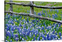 Bluebonnet flowers blooming around weathered wood fence, Texas