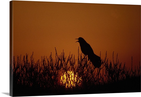 Boat-tailed grackle (Cassidix mexicanus) silhouetted by sunset, Assateague Island, Maryland