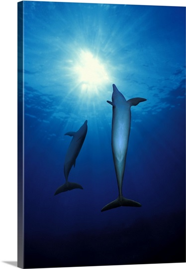 Bottle Nosed dolphins (Tursiops truncatus) in the sea