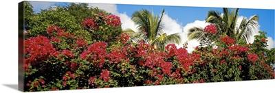 Bougainvillea St. John US Virgin Islands