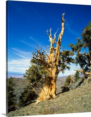 Bristle Cone Pine in side of hill, California