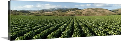 Brussels sprout crop in a field, Half Moon Bay, San Mateo County, California