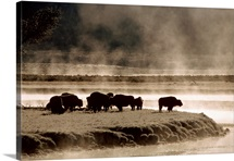 Buffalos in Yellowstone National Park WY