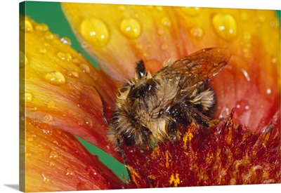 Bumble bee on flower blossom in rain, close up.