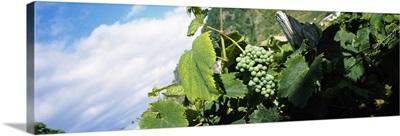 Bunch of grapes in a vineyard, Sao Miguel, Ponta Delgada, Azores, Portugal