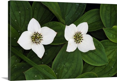 Bunchberry flowers (Cornus canadensis) in bloom, close up, Vermont