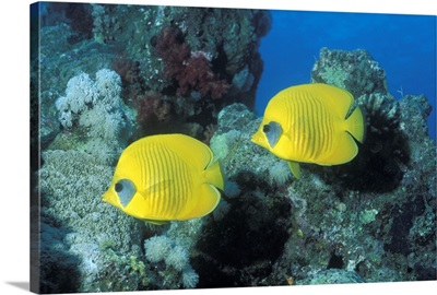 Butterfly Fish Red Sea