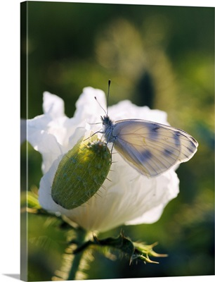 Cabbage Butterfly On Prickly Poppy Seed Pod