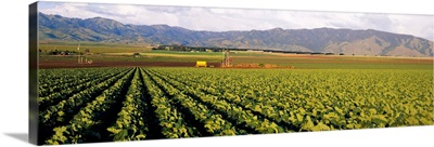 Cabbages in a field, Central Valley, California