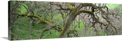California, Black oak tree in the tropical forest