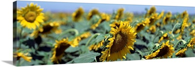 California, Central Valley, Field of sunflowers