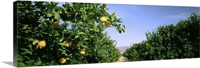 California, Crop of lemon orchard