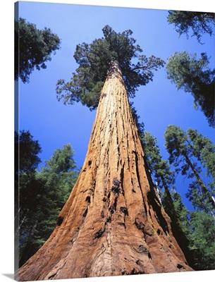 California, Giant sequoia
