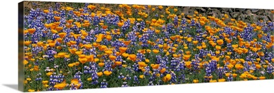 California Golden Poppies (Eschscholzia californica) and Bush Lupines (Lupinus albifrons), Table Mountain, California