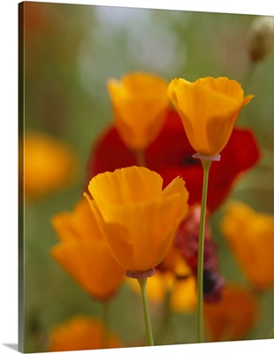 California Golden Poppies (Eschscholzia californica) and Corn Poppies (Papaver rhoeas) in a field, Fidalgo Island, Washington State
