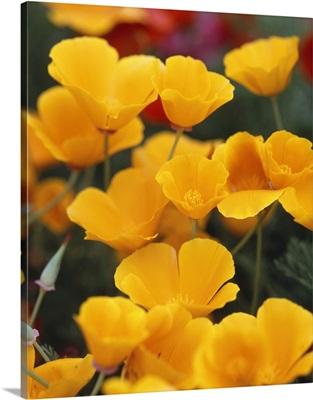 California Golden Poppies (Eschscholzia californica) in a field, Fidalgo Island, Washington State