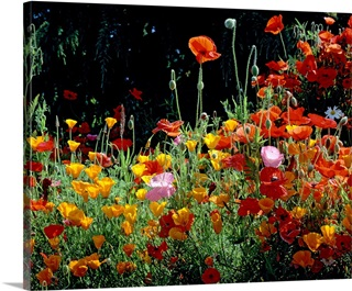 Poppy Wall Art Canvas Prints Poppy Panoramic Photos Posters Photography Wall Art Framed Prints More Great Big Canvas