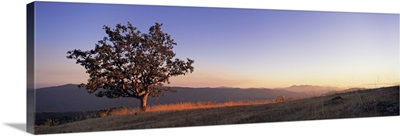 California, Humboldt Country, View of a lone Oak tree at dusk