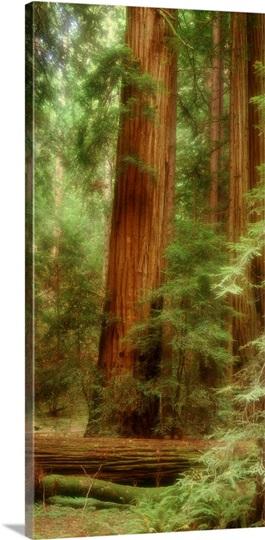 California, Muir Woods, redwood trees