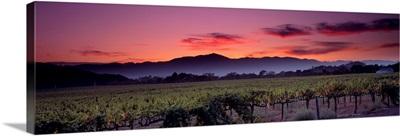 California, Napa Valley, vineyard
