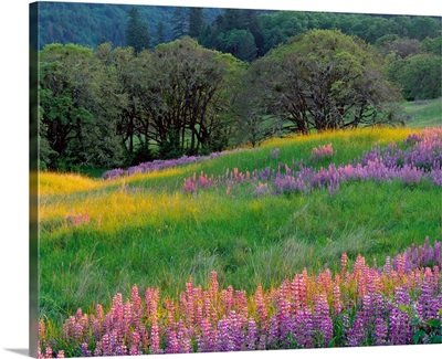 California, Oregon, Hills with lupine and oak