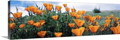California Poppy Napa Valley CA