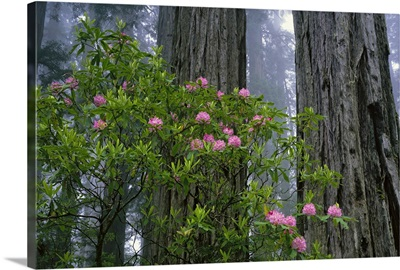 California, Redwood trees and rhododendron