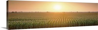 California, Sacramento County, View of the corn field during sunrise