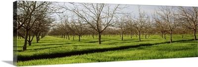 California, San Joaquin, orchard