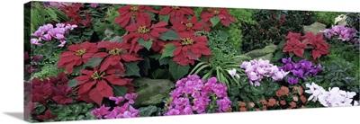 Canada, Ontario, Niagara Falls, Botanical Gardens, Close-up of Christmas Flowers