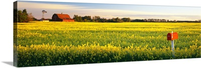 Canola field Leduc Alberta Canada