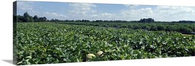 Cantaloupe Field MD