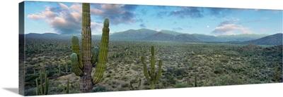 Cardon cactus in Forest just north of Mulege, Baja California Sur, Mexico