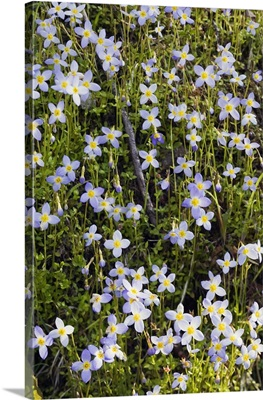 Carpet of bluet flowers (Houstonia caerulea) in bloom, North Carolina