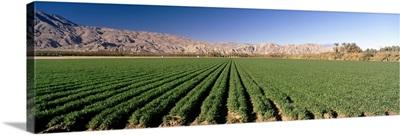Carrot crops in a field, Indio, Coachella Valley, Riverside County, California,