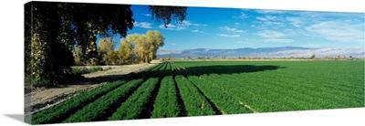 Carrot Field Indio Coachella Valley CA
