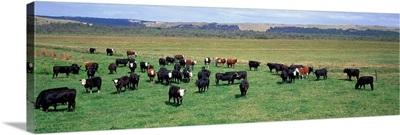 Cattle Graze near Melbourne Victoria Australia