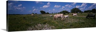 Cattle grazing in the field, Texas Longhorn cattle, Y.O. Ranch, Texas