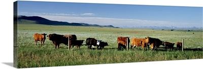 Cattle Ranch Alberta Canada