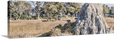 Cheetah resting near Termite Mound, Chitabe, Okavango Delta, Botswana