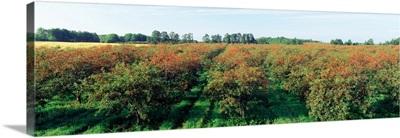 Cherries in a field, Door County, Wisconsin