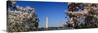 Cherry Blossom flowers on cherry tree, Washington Monument, Washington DC
