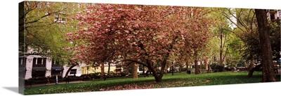 Cherry blossom in a park, Madison Square Park, Manhattan, New York City,
