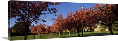 Cherry blossom in a park Stray Harrogate North Yorkshire England