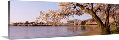 Cherry blossom tree along a lake, Potomac Park, Washington DC