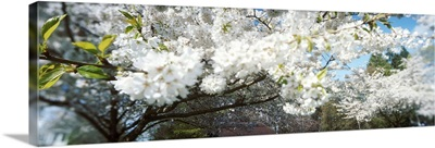 Cherry Blossom tree in a park, Volunteer Park, Capitol Hill, Seattle, Washington State,